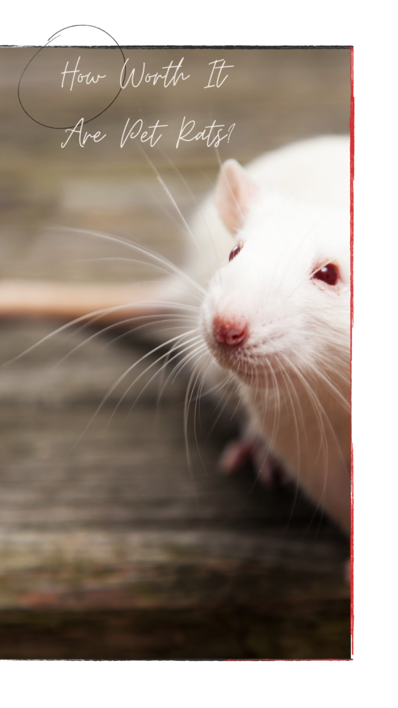 How worth it are pet rats?