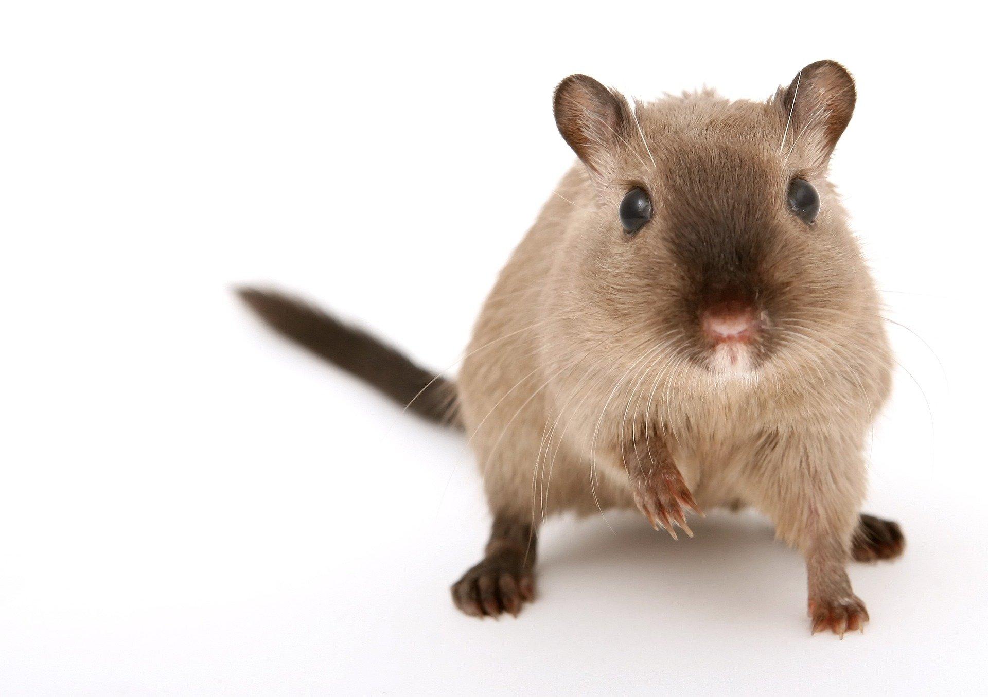 How long do pet rats live?