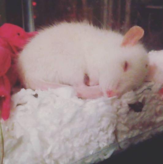 Polar the Baby Rat