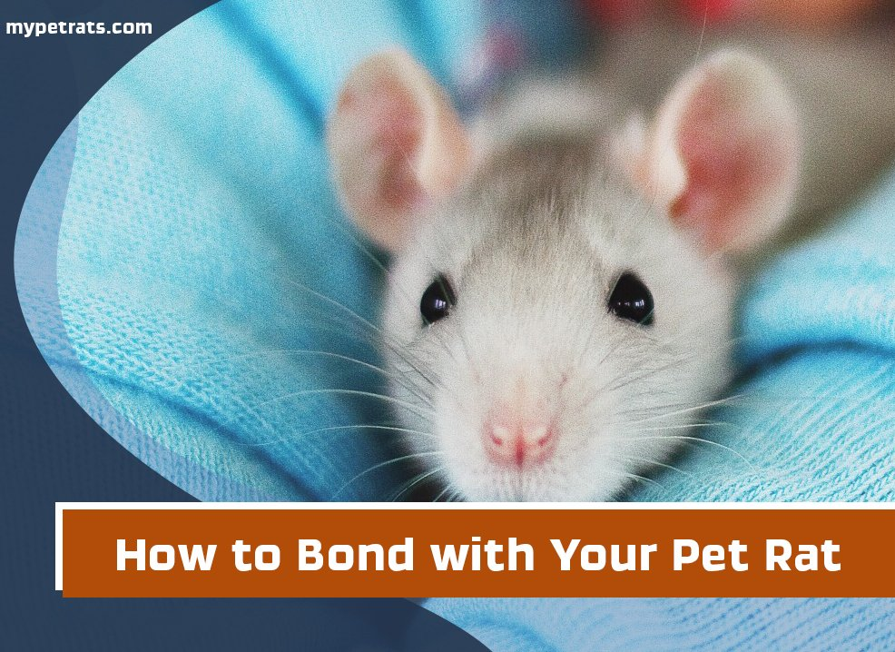 How to Bond With Your Pet Rat